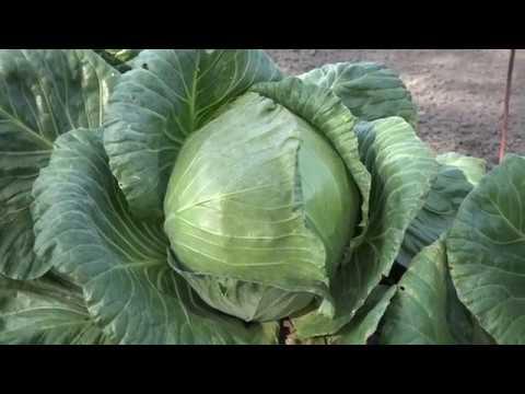 Капуста циклоп f1: описание сорта, отзывы и урожайность, фото