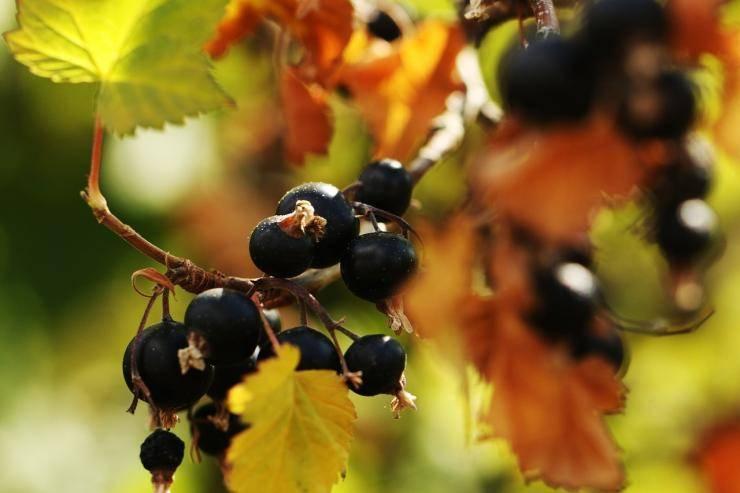 Особенности ухода за чёрной и красной смородиной, как подготовить осенью кустарник к зимовке
