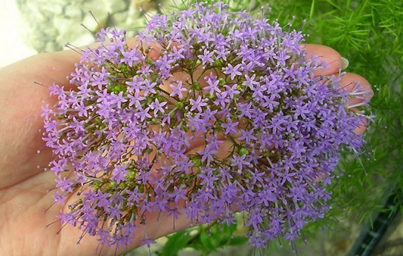 Венидиум: описание, фото видов цветка, посадка, уход в открытом грунте