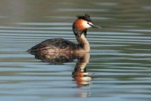 Чомга птица. описание, особенности, виды, образ жизни и среда обитания чомги | живность.ру
