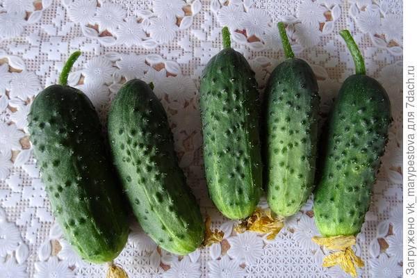 Особенности посадки и выращивания огурцов «мэлс f1»