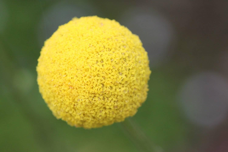 Цветок краспедия: посадка и уходд- описание, сорта- инструкции по выращиванию +фото и видео