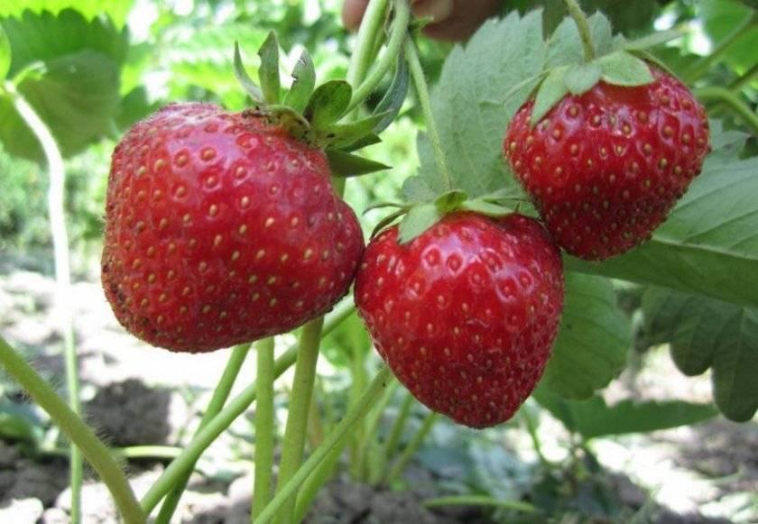 Посадка, выращивание и уход за клубникой в открытом грунте в сибири и лучшие сорта