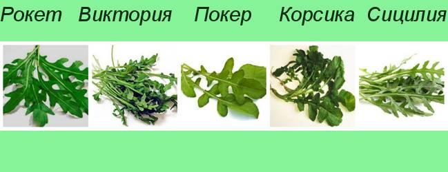 Как вырастить рукколу дома на подоконнике из семян