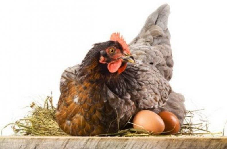 Курица наседка (квочка): сколько сидит на яйцах, содержание, уход