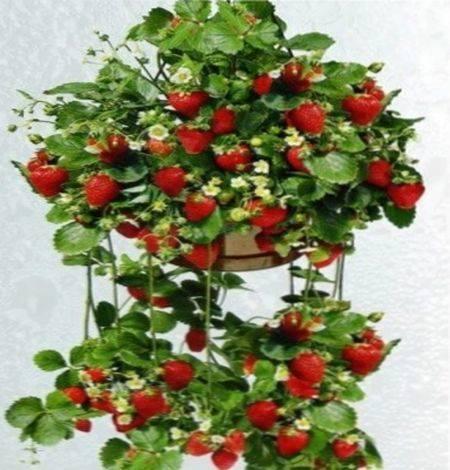Земляника ампельная в домашних условиях по советам садоводов