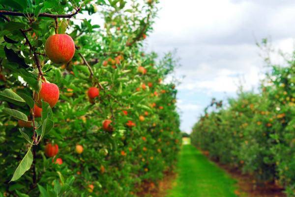 Чем обработать яблони осенью от болезней и вредителей: фото, видео