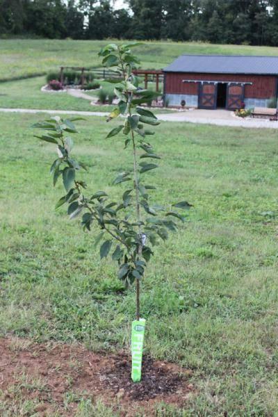 Как привить яблоню весной: пошаговая инструкция с описанием и фото, советы и рекомендации