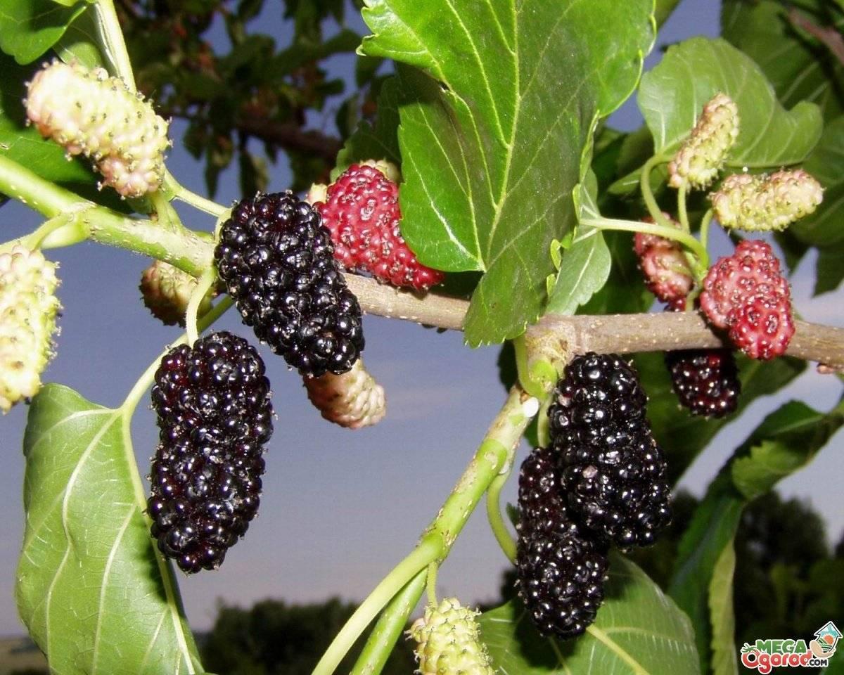 Шелковица: выращивание и уход, посадка в саду, обрезка, прививка, виды и сорта, фото