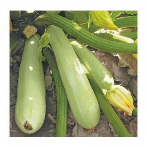Кабачок арал f1: отзывы, фото, описание сорта, посадка и уход, выращивание, урожайность