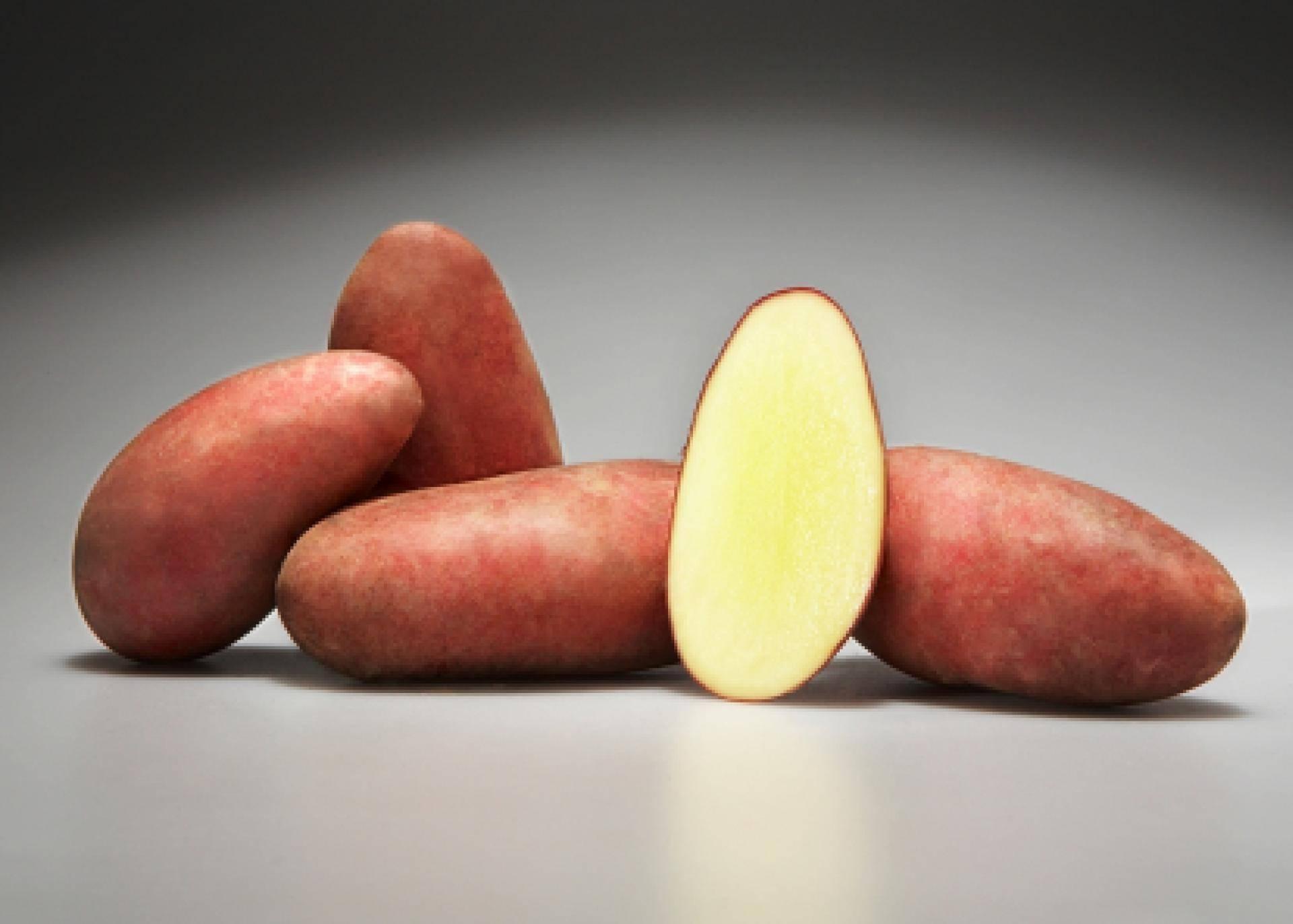 Картофель Родриго: неприхотливый сорт с отменной урожайностью