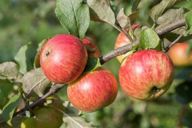 Яблоня медуница - описание сорта, уход и посадка, отзывы