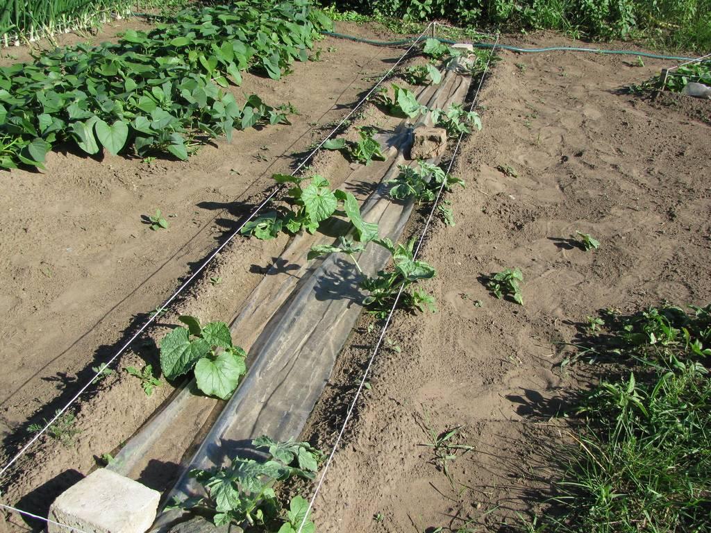 Посадка арбузов на рассаду в 2021 году: когда и как сеять лучше всего