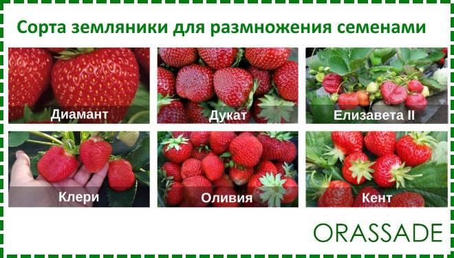 Земляника выращивание из семян - руководство с фото - vsadu.ru