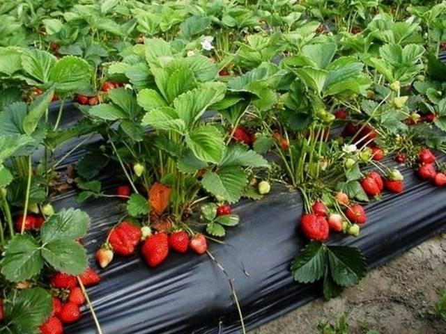 Клубника азия – как выглядит, является ли ремонтантной, урожайность, плюсы и минусы сорта