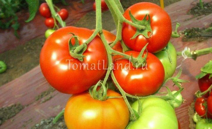 Томат красным красно: отзывы, фото, урожайность | tomatland.ru