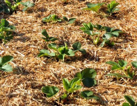 Что такое мульчирование почвы и зачем оно нужно? - огород, сад, балкон - медиаплатформа миртесен