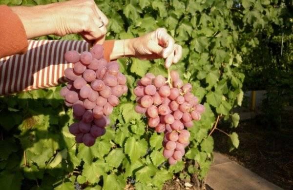 Высокоурожайный виноград «гурман»: описание и разновидности гибрида. тонкости посадки винограда «гурман» и уход за сортом - автор екатерина данилова