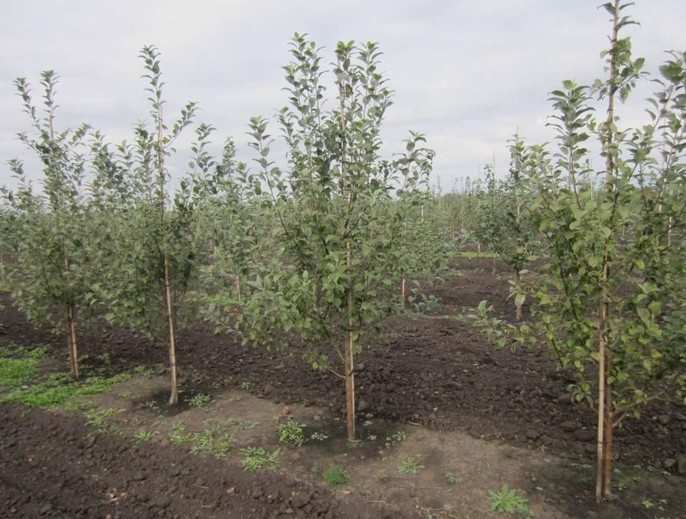 Особенности посадки яблонь в сибири: выбор сорта, участка, рекомендации по высаживанию и уходу - сорта яблонь: полный каталог