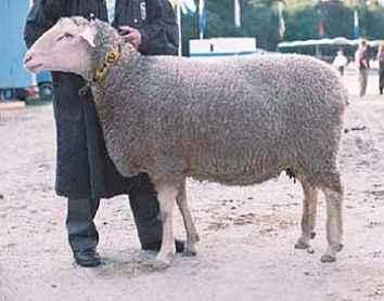Породы овец молочного направления, особенности содержания и доения