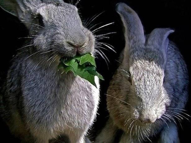 Особенности поведения крольчихи перед окролом