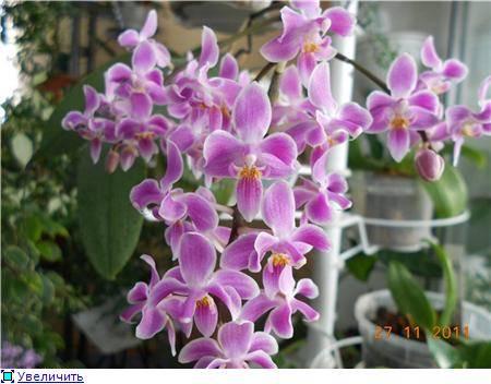Миниатюрная орхидея эквестрис: описание и уход