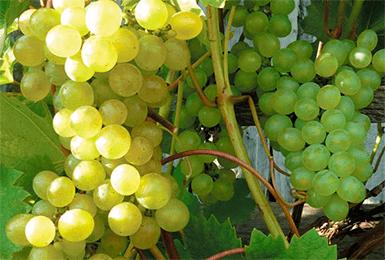 Виноград руслан: характеристика сорта, достоинства, уход и выращивания