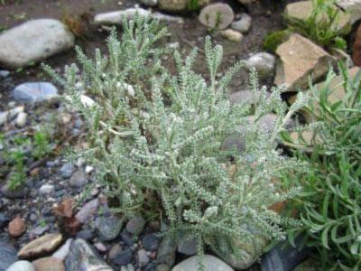 Сантолина (santolina): фото растения и его сортов, описание, уход