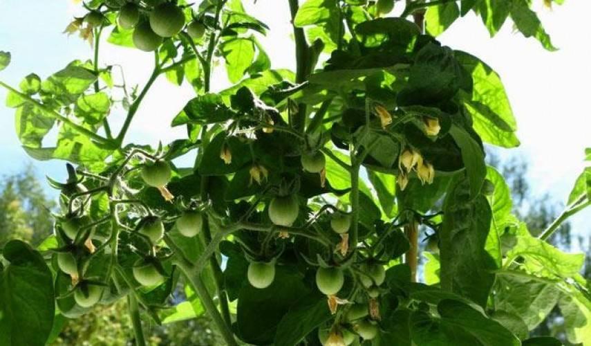 Что делать если не завязываются помидоры в теплице: 4 причины