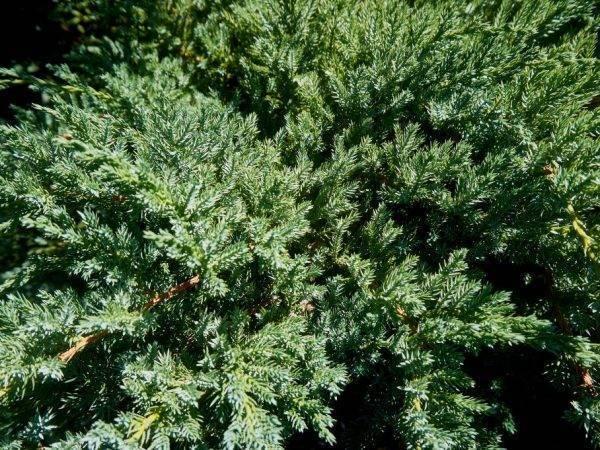 Можжевельник «блю карпет» (28 фото): описание можжевельника чешуйчатого blue carpet, посадка и уход, использование в ландшафтном дизайне