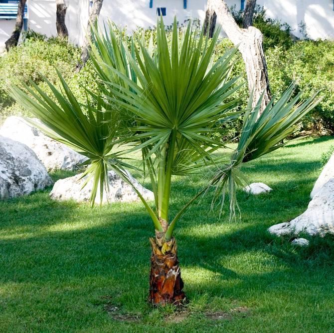 Пальма вашингтония: уход и выращивание в домашних условиях