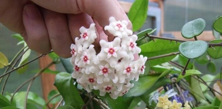 Цветок хойя: о суевериях, разнообразии и правильном уходе