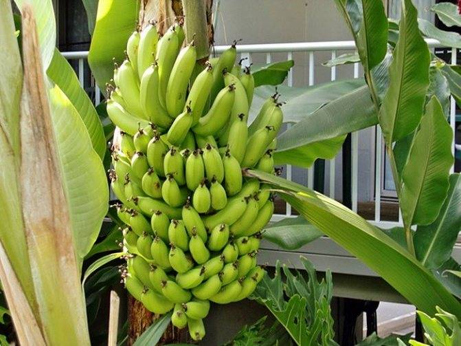 Мини бананы на подоконнике. комнатное выращивание в горшке (кадке). способ, метод, агротехническая технология. посадка