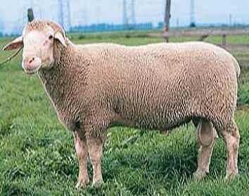 Овцы породы суффолк и коровы абердин ангус — элита скотоводства.
