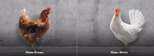 Хайсекс — популярный гибрид яичного направления. приносит до 340 яиц в год