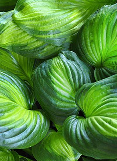 Хоста авокадо — подробное описание сорта | топфазенда