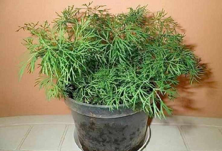 Как вырастить зелень на подоконнике в квартире круглый год: укроп, петрушка, лук, перец