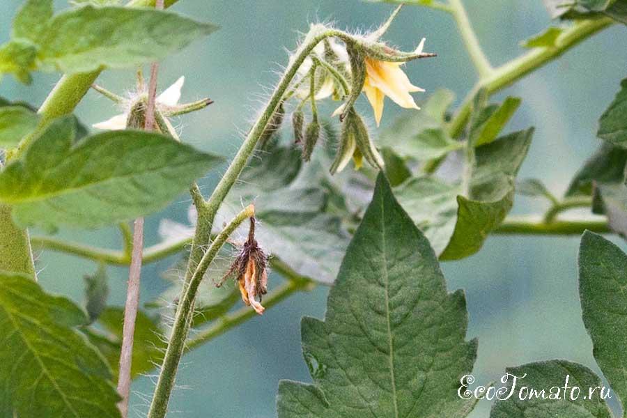 Пустоцвет на помидорах в теплице, что делать?