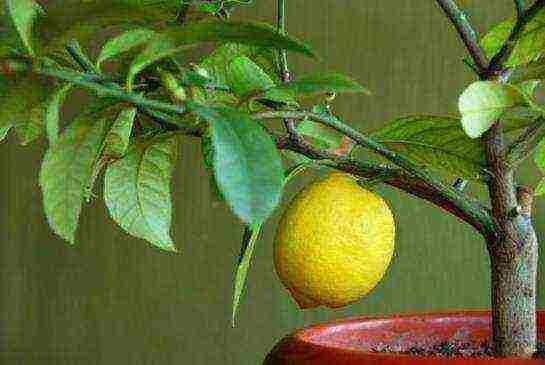 Домашний лимон: посадка и уход, выращивание из косточки, как привить