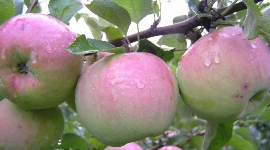 Яблоня дарена: особенности сорта и ухода