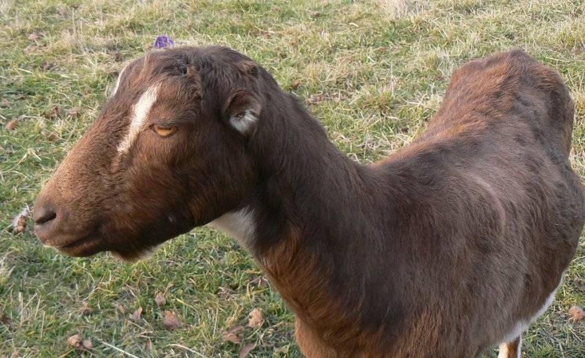 Порода коз ламанча: описание, видео, сколько дает молока