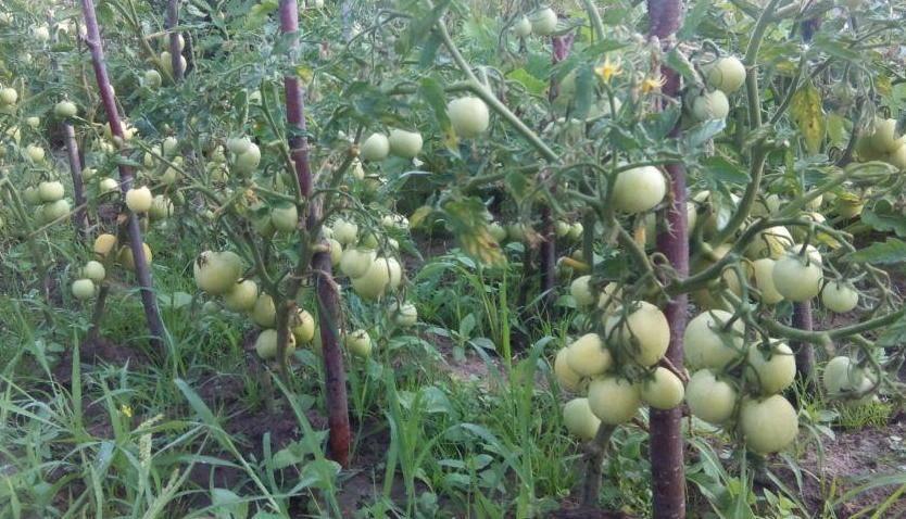 Нюансы выращивания помидоров в теплице зимой. что нужно знать, чтобы получить отличный урожай в это время года?
