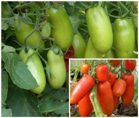 Томат перцевидный крепыш: отзывы, фото полученного урожая, характеристика и описание сорта помидоров, нюансы ухода за ними