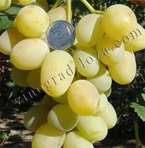 Виноград ландыш: описание сорта с характеристикой и отзывами, особенности посадки и выращивания, фото