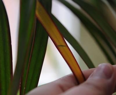 Почему у драцен сохнут и желтеют кончики листьев, что делать