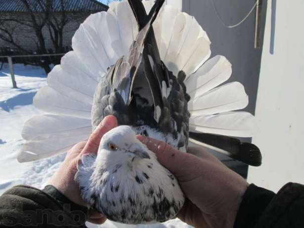 Статные голуби: характеристика птиц, ростовские, новочеркасские и другие виды