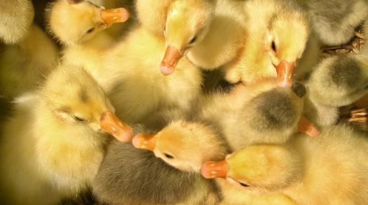 Пошаговая инструкция по инкубации и выведению гусиных яиц