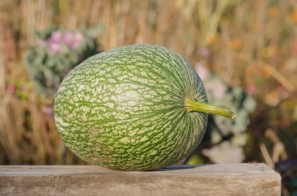 Выращивание фиголистной тыквы: посадка семенами и рассадой, уход в открытом грунте