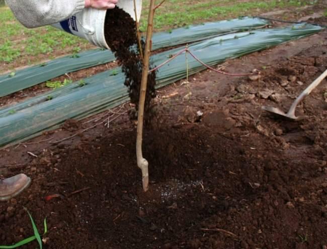 Подкормка яблони весной в саду - все от выбора удобрения до дозировок