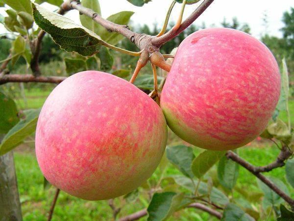 Описание сорта яблони надежное: фото яблок, важные характеристики, урожайность с дерева